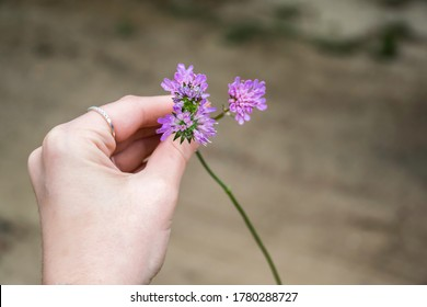 Hand with pink field flower.