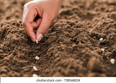 hand planting corn seed of marrow in the vegetable garden