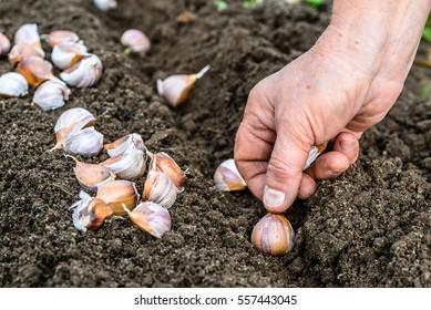 Hand planting garlic in the vegetable garden. Spring gardening.