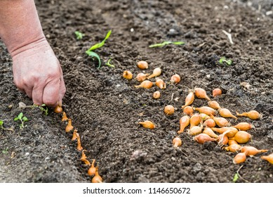 Hand planting onion in the vegetable garden. Spring gardening.