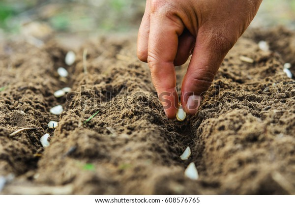 hand planting pumpkin seed of marrow in the vegetable garden