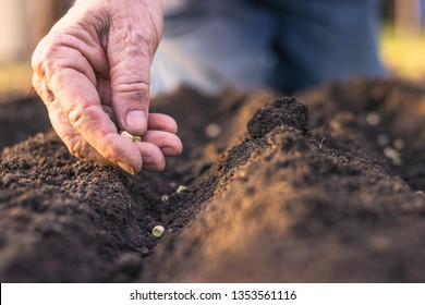 Farmer´s hand planting seed of green peas into soil. Sowing at springtime. Gardening concept