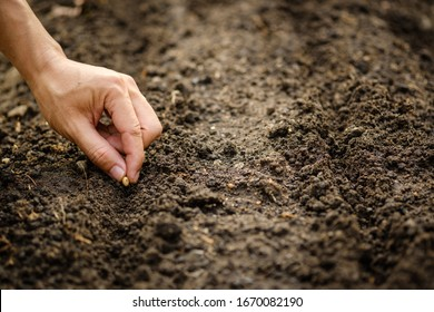 hand planting SOYBEAN seed of marrow in the vegetable garden.plant seed in soil