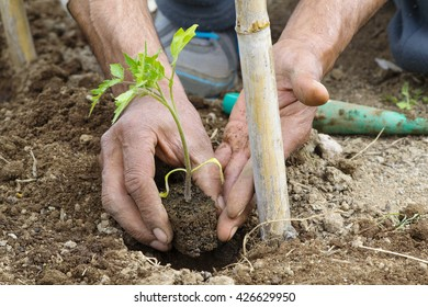 hand planting a tomato seedling