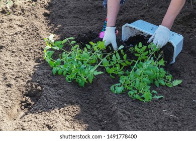Hand planting a tomato seedling in ground.