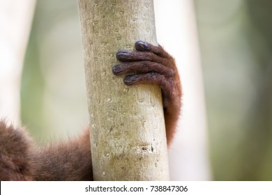 The hand and pointed fingernail of a Red-bellied lemur wrapped around the tree in the forest of Madagascar