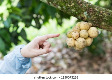 Hand pointing langsat or lanzones fruit on tree in orchard in Malaysia