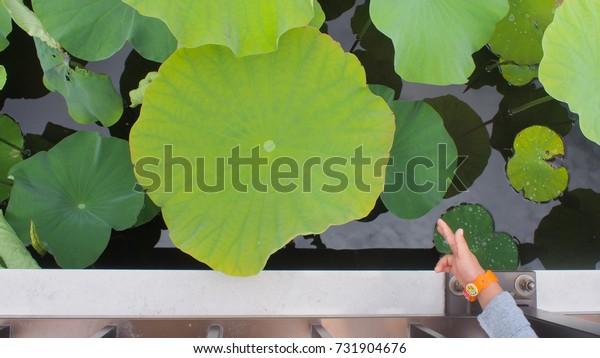 hand pointing lotus leaf