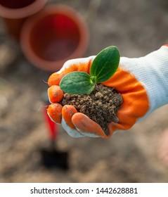 Hand in Schutzhandschuh, der eine junge Pflanze hält.Anpflanzung eines jungen Samens. Arbeiten im Gemüsegarten. Landwirtschaft. Landwirtschaft. Nahaufnahme.