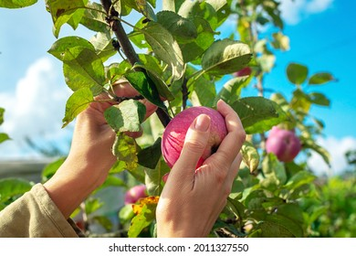 Hand reaching for apple growing on top of tree in orchard. Young female hands pluck an apple from a branch. Harvest apples on a sunny day