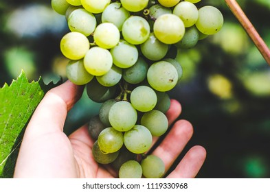 Hand reaching for bunch of green grapes