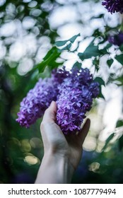 Hand reaching to a lilac flower. Shalow DOF