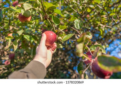 Hand reaching and picking an apple from an apple tree