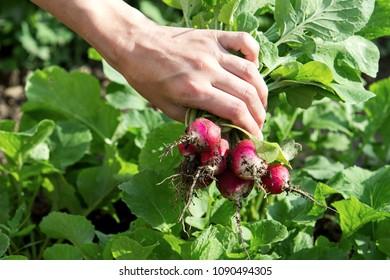 hand with ripe radish