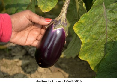 A hand showing a Brinjal, Eggplant, Aubergine hanging down from a plant in close up with lots of green leaves