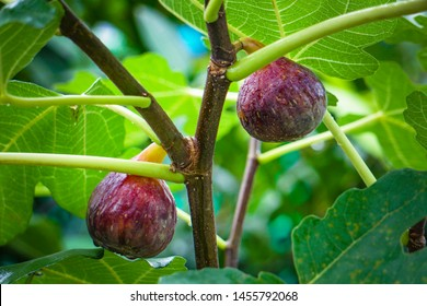 A hand showing Ficus racemosa popularly known as cluster fig tree, Indian fig tree or goolar ( gular), in Bengali Dumur and the figs namely cauliflory and leaves in close up