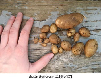 Hand with Small Potatoes