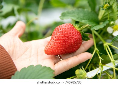 hand support big size strawberry in organic farm, harvest fruit season concept.
