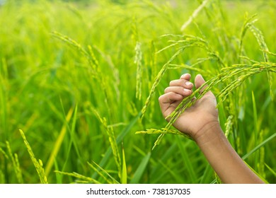 hand tenderly touching a young rice in the paddy field.