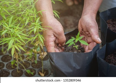 The hand that embraces marijuana seedlings is growing. Medical marijuana World Cannabis Day Concept