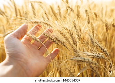 The hand that gives it through the wheat ears and sunny day