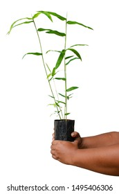 The hand that holds the seedlings, the varieties of bamboo plants that are growing, to grow, use the trunk and eat the shoots.