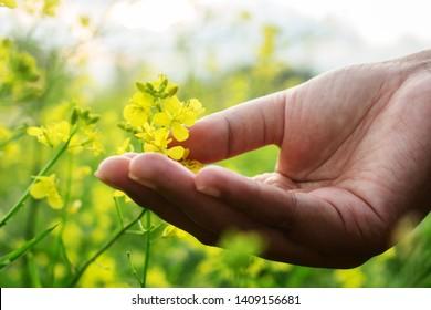 Hand Touch Yellow Brassica napus Flower