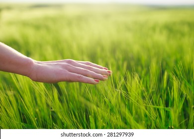 a hand touches the ears of green wheat , low depth of sharpness
