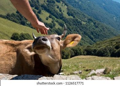 hand touching a cow