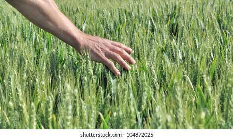 hand touching the ears of barley in a field