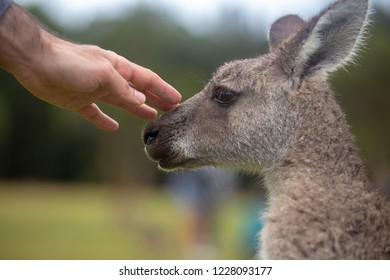 Hand Touching Eastern Grey Cangaroo