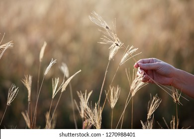 hand touching natural dry reeds grass.