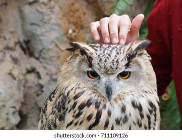 Hand touching a Siberian owl