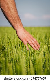 Hand touching the wheat