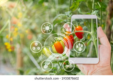 Hand using mobile phone inspecting red cherry tomato agricultural garden with concept modern technologies
