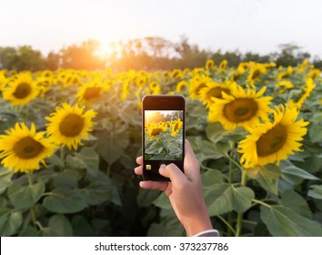 hand using phone taking photo beauty sunflower field