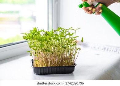 Hand watering micro greens growing in container on window sill, mung beans sprouts
