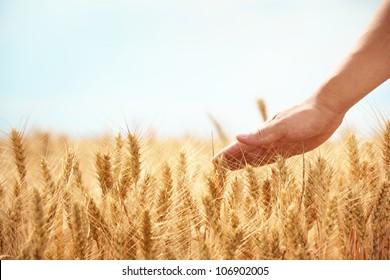 Hand in wheat field