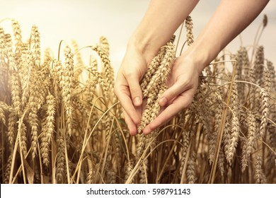 Hand in wheat field during sunset