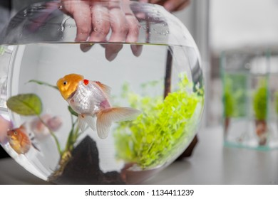 hand will catch up big gold fish in bowl