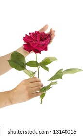 Hand of woman holding beautiful red rose isolated on white background