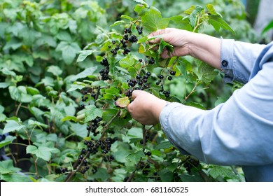 Hand of woman picking black currant in garden