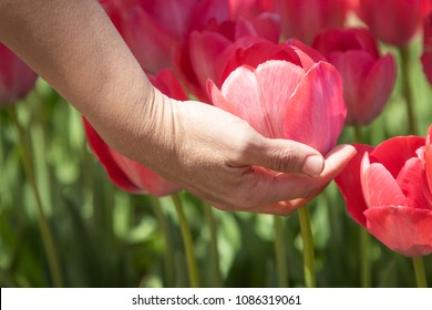 A hand of a woman is picking a red tulip flower
