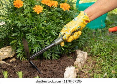 Hand Of Women Loosen With Hoe Ground In Flower Bed Of Marigold Close Up. Spring Work In Garden. Care Of Flowers In Flowerbeds.