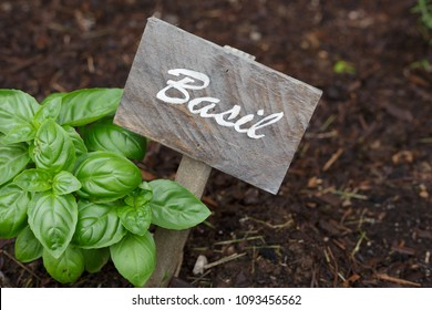 Hand written wood sign next to basil plant