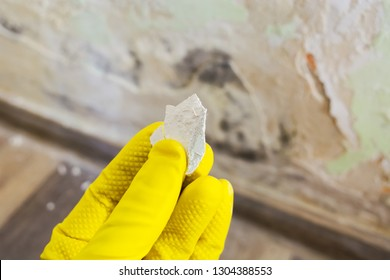 Hand with yellow protection glove holding a piece of wall paint with toxic fungus growing on it. Bad water and mold infiltration on the wall. Damp environment causing health problems.