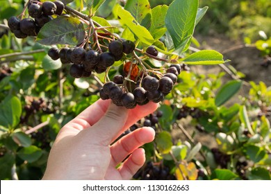 a hand of a  young woman holding a panicle of   organically grown aronia berry with a aronia bush in the background, ripe aronia ready for harvesting grown in a food forest