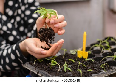 The hand of a young woman are planting the seedlings into containers with the soil.