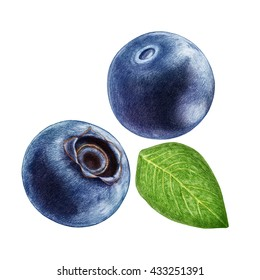 Hand-drawn illustration of Blueberry. Digitally colored.
