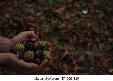 A handful of chestnuts. A man holds a bunch of brown chestnuts on the palms, some of which are still in green peel, which he picked up on the ground under a chestnut tree.